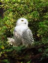 Snowy owl Royalty Free Stock Photo