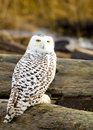 Snowy owl sitting on a log with fall color background Royalty Free Stock Photos