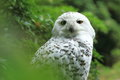 Snowy owl the sitting on the tree Royalty Free Stock Photos