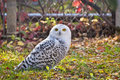 Snowy Owl Staring At Camera Royalty Free Stock Photo