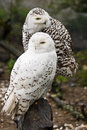 Snowy owls Stock Photos