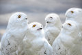Snowy owls Royalty Free Stock Photo