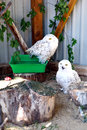 Snowy Owls in the open air at the zoo in Ukraine Royalty Free Stock Photo