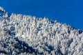 Snowy pine forest aosta valley val veny north italy Stock Photo