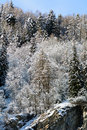 Snowy pine forest aosta valley val veny north italy Royalty Free Stock Photos