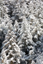 Snowy pine forest aosta valley val veny north italy Stock Photos