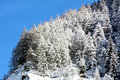Snowy pine forest aosta valley val veny north italy Royalty Free Stock Image