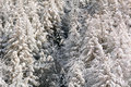 Snowy pine forest aosta valley val veny north italy Stock Image