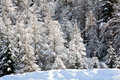 Snowy pine forest aosta valley val veny north italy Stock Images