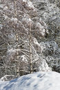 Snowy pine forest aosta valley val veny northern italy Royalty Free Stock Image