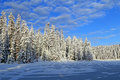 Snowy pines in the uinta mountains utah usa Stock Photo