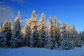 Snowy pines in the uinta mountains utah usa Royalty Free Stock Image