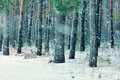 Snowy pinewood in winter first snow the pine forest Stock Images