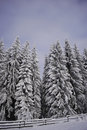 Snowy pinewoods Royalty Free Stock Photo