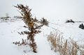 Snowy plant small on a snow covered ridge in wintertime Stock Photography