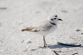 Snowy plover charadrius alexandrinus the rare and threathened fort myers beach florida Stock Images