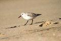 Snowy Plover Royalty Free Stock Photo