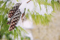 Snowy spruce tree frost covered branches with two pine cones Royalty Free Stock Photography