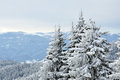 Snowy trees fir on a winter mountain background Royalty Free Stock Image