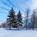 Snowy two pine trees in wood Royalty Free Stock Photos