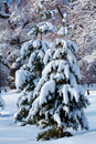 Snowy two pine trees in wood Stock Photos