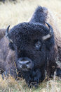 Soaked bull buffalo lying in prairie after rain Stock Photography