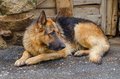 Soaked dog sorrowful german shepherd lying in the ground after the rain Stock Photos