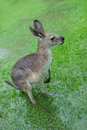 Soaked Kangaroo With Barely Visible Feet Stock Images