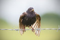 Soaked starling a sturnus vulgaris on a barbed wire Stock Image