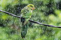 Soaked young king parrot getting in the rain Stock Photography
