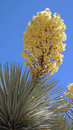 Soaptree yucca bloom a close up image of a blooming it is native to the southwestern area of the usa Stock Images