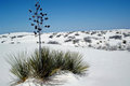 Soaptree yucca a plant in the gypsum dunes Stock Image
