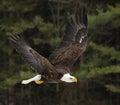 Soaring Bald Eagle Royalty Free Stock Photo