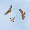 Soaring Hawks Stock Images