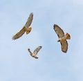 Soaring Hawks Stock Images