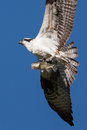 Soaring osprey carrying a fish in it s talons bass Stock Images
