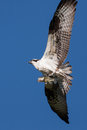 Soaring osprey carrying a fish in it s talons bass Stock Photography