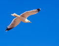 Soaring seagull against the sky Royalty Free Stock Photography
