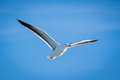 Soaring seagull a in flight Royalty Free Stock Images