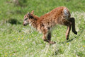 Soay Lamb Royalty Free Stock Photography