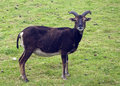 Soay Sheep Royalty Free Stock Photo