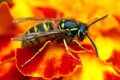Social wasp on the flower Stock Photography
