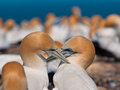 Socializing gannets Stock Photo