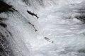 Sockeye Salmon Leaping Brooks Falls. Royalty Free Stock Photo