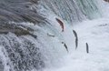 Sockeye salmon jumping up falls brooks during their annual migration at katmai national park alaska Royalty Free Stock Image