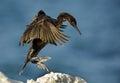 Socotra cormorant Royalty Free Stock Photo