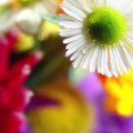Soft camomile Royalty Free Stock Photos