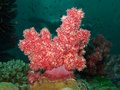 Soft coral Royalty Free Stock Photos