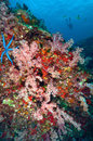 Soft coral colony similan island thailand Royalty Free Stock Images
