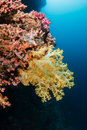 Soft coral corals on a reef wall Royalty Free Stock Photos